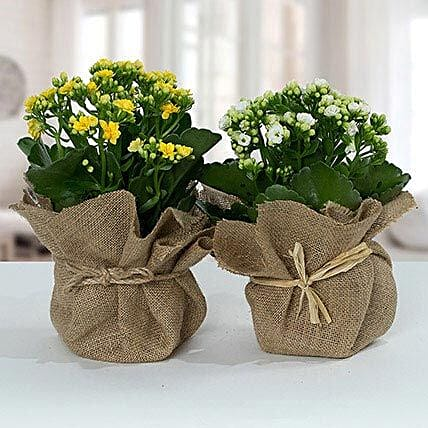 Jute Wrapped Dual Potted Plants:Send Anniversary Gifts to Qatar