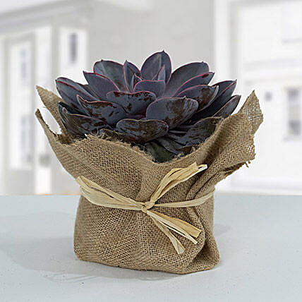 Purple Echeveria Jute Wrapped Plant:Plants  in Qatar