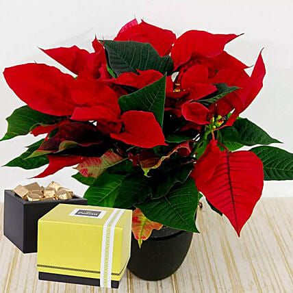 Red Poinsettia Plant & Patchi Chocolates
