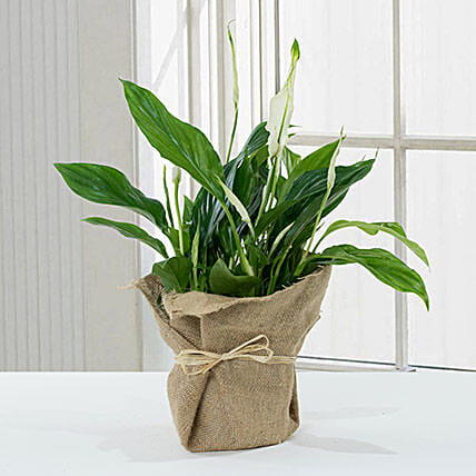 Spathiphyllum Jute Wrapped Potted Plant:Plants in Qatar