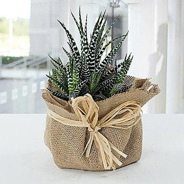 Jute Wrapped Howarthia Plant:Send Birthday Gifts to Qatar