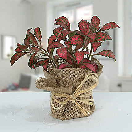 Lovely Fittonia Plant N Jute Wrapped Pot:Send Birthday Gifts to Qatar