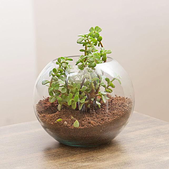 Jade Plant In Round Vase Combo