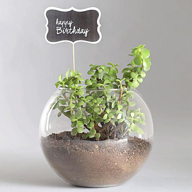 Birthday Jade Plant Combo:Plants  in Singapore