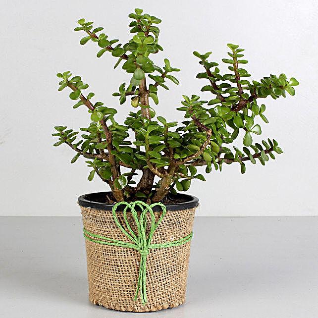 Jade Plant in Black Plastic Pot