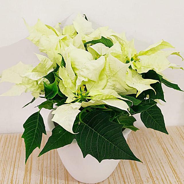White Poinsettia Plant In White Pot