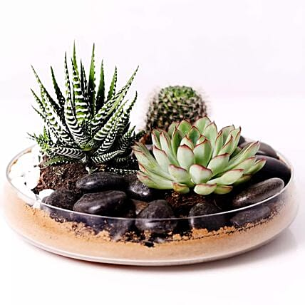 Combo of 3 Plants In Clear Glass Platter