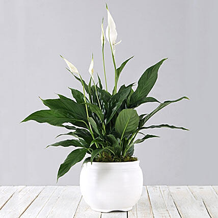 Spathiphyllum In White Pot