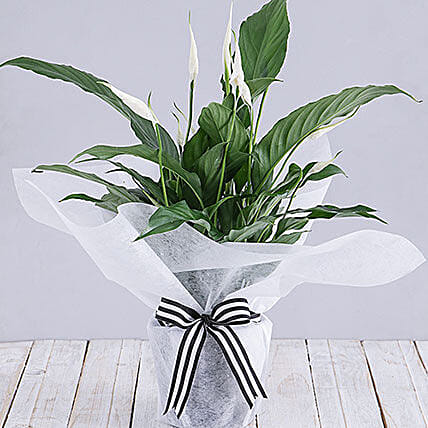 Spathiphyllum In White Tissue Paper
