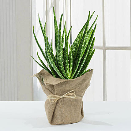 Aloe Vera Plant in Jute Wrapping