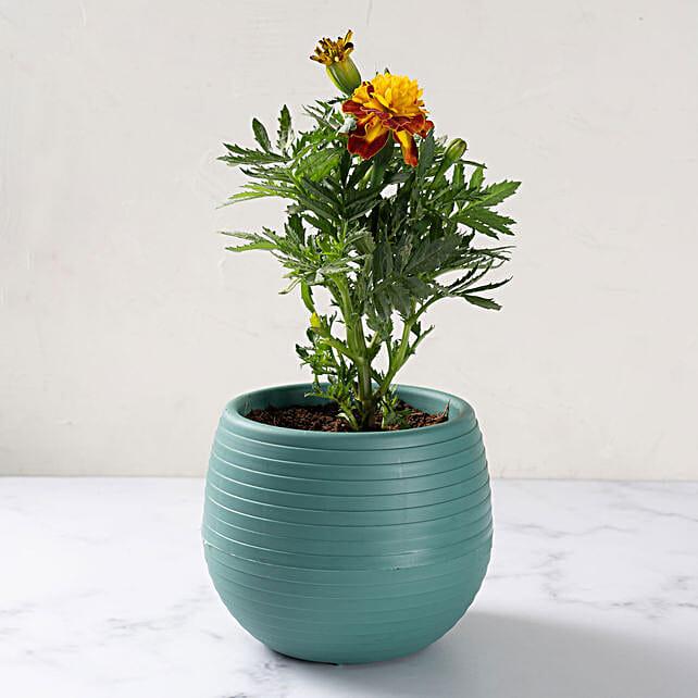 Dual Color Margold Plant