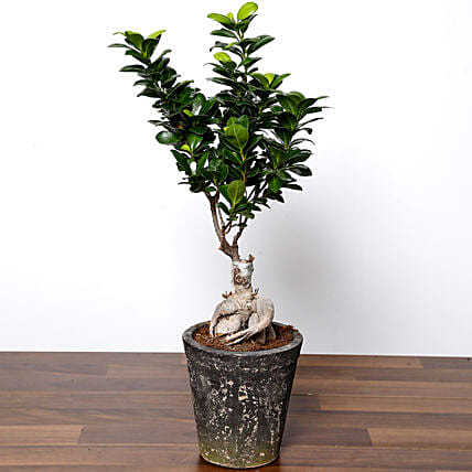Ficus Bonsai Plant In Ceramic Pot:Indoor Plants in UAE