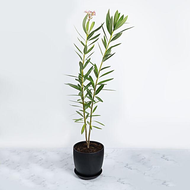 Oleander Plant In Black Pot:Outdoor Plants to UAE
