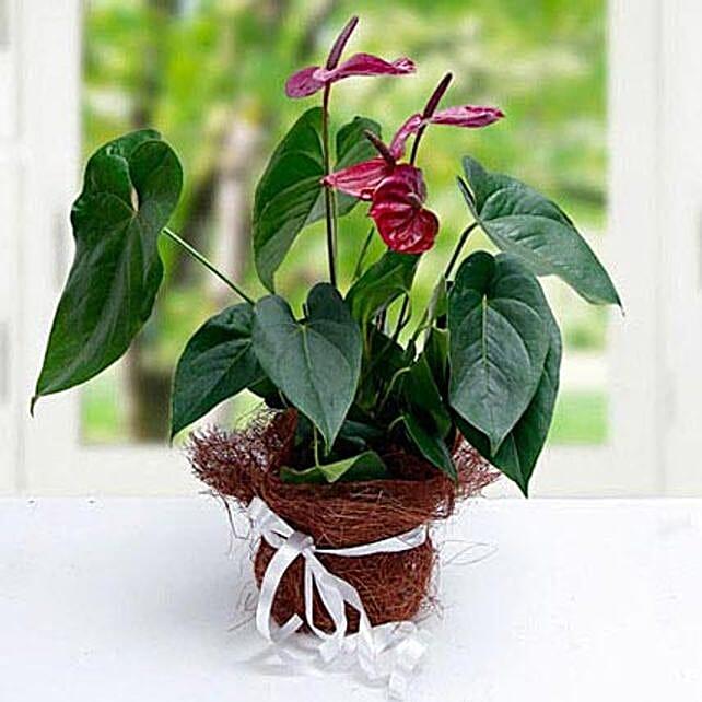 Simply Splendid Flowers:Outdoor Plants to UAE