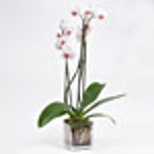 Pink Phalaenopsis Orchid Plant:Plants  in UAE