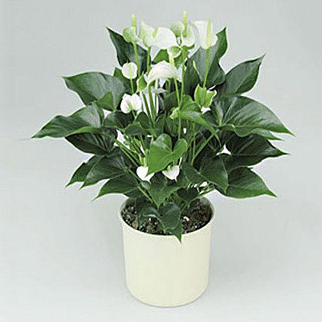 White Anthurium Plant:Indoor Plants in UAE