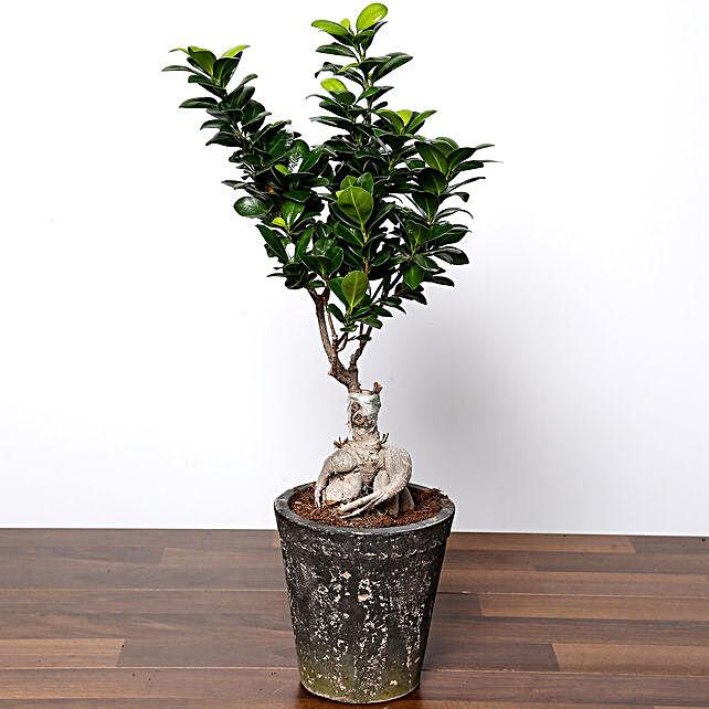 Ficus Bonsai Plant In Ceramic Pot:Outdoor Plants to UAE