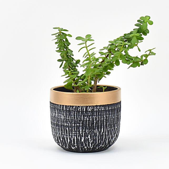Jade Plant In Black Pot