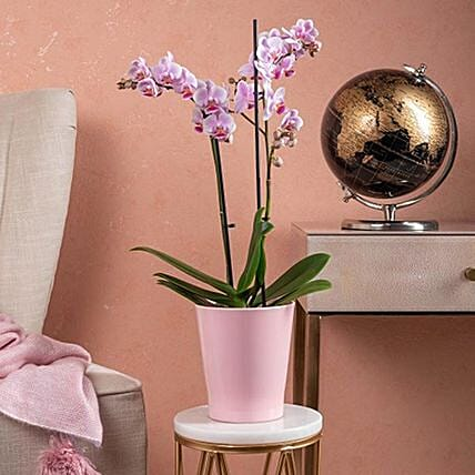 Lovely Phalaenopsis Orchid Plant In Pot