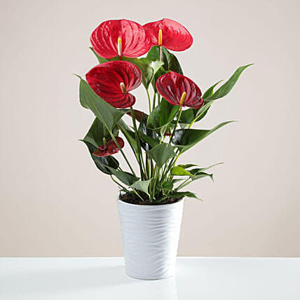 Red Anthurium In White Ceramic Pot