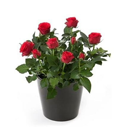 Rose Plant Gift Pack:All Gifts