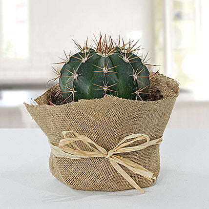 Amazing Cactus With Jute Wrapped Pot:Plant Delivery in UK