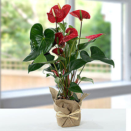 Red Anthurium Jute Wrapped Potted Plant:Plants  in UK