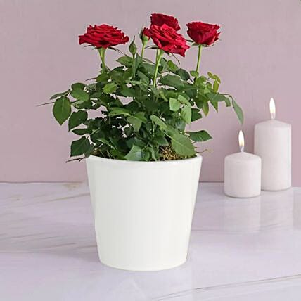 Red Rose Plant In A Pot:Plants  in UK