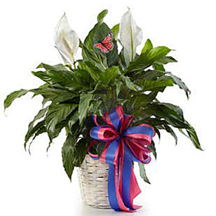 Classic Peace Lily Plant:Plant Delivery in USA