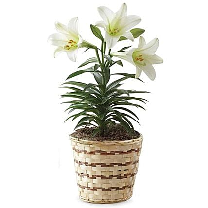 Easter Special Blooming Lily Plant In Woven Basket
