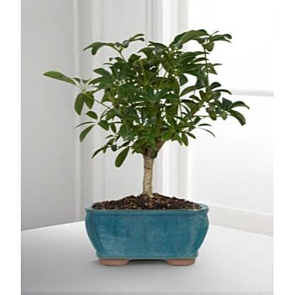 Hawaiian Umbrella Bonsai Dwarf Tree:Send Fathers Day Gifts to USA