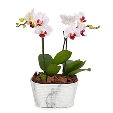 Mini Orchid Plant:Orchid Delivery in USA