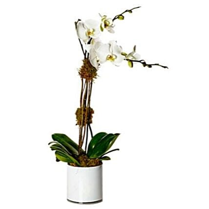 Phalaenopsis Orchid Plant:Send Orchid Flowers to USA