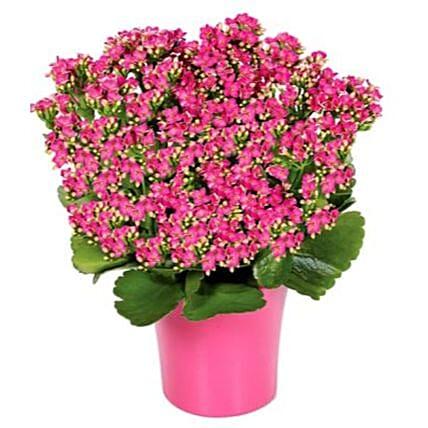 Pink Kalanchoe Plant In Colourful Pot