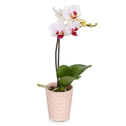 Pink Mini Orchid Plant:Send Orchid Flowers to USA