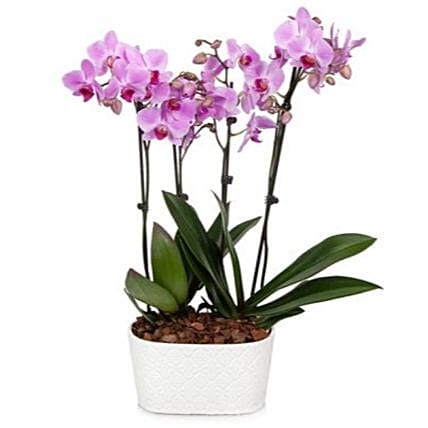 Pure Love Orchid Plant:Send Orchid Flowers to USA