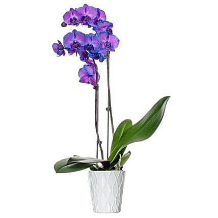 Purple Dyed Premium Orchid Plant:Orchid Delivery in USA
