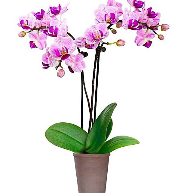 Purple Orchid Plant In Ceramic Pot