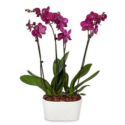 Radiant Joy Orchid Plant:Orchid Delivery in USA